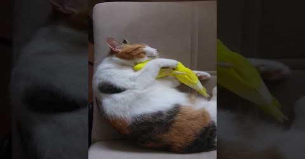 gattina dorme con dei canarini