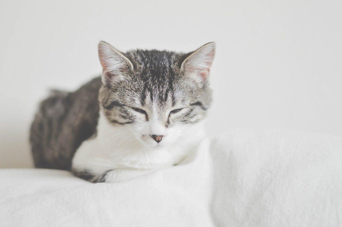 gatto bianco con occhi chiusi