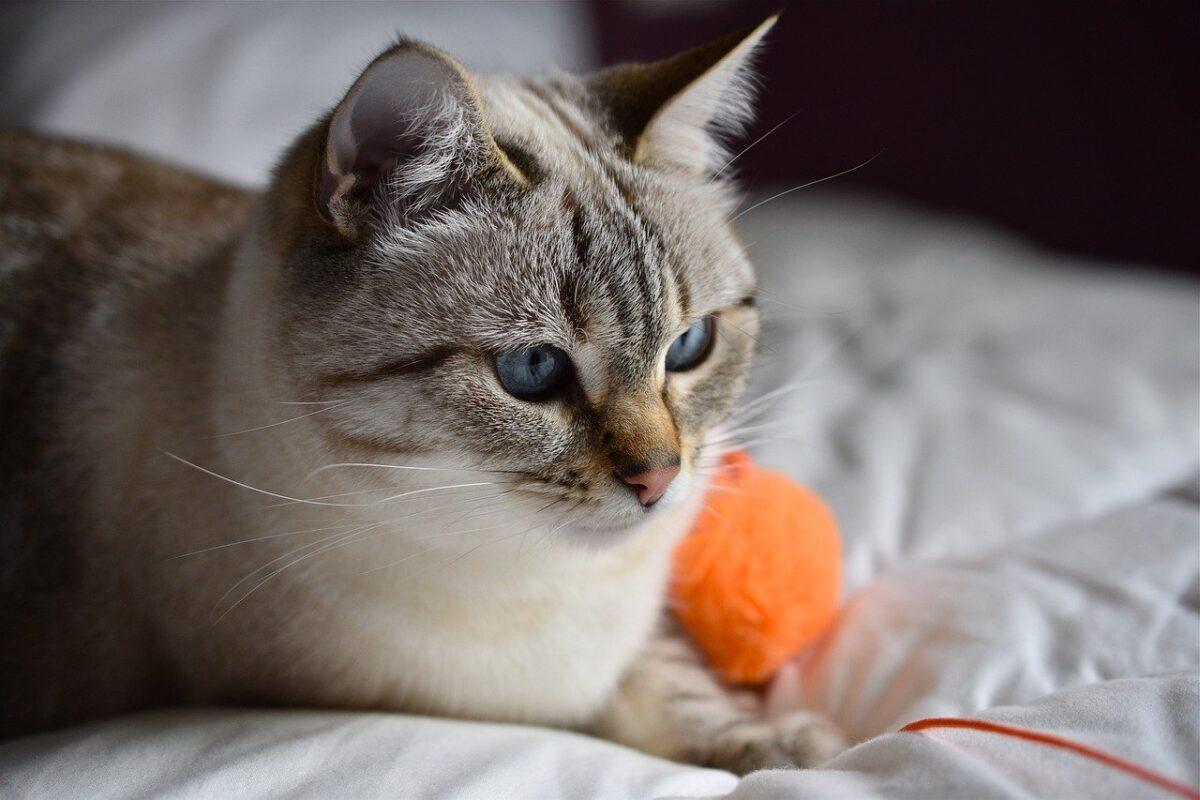 gatto con gomitolo