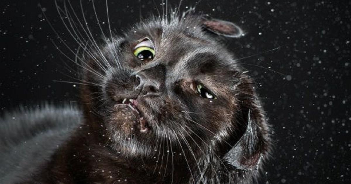 gatti che scuotono la testa-caos