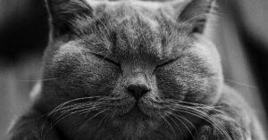 Gattina British shorthair che mangia una pannocchia