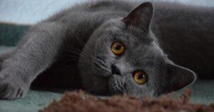 gattino British shorthair gioca con un peluche