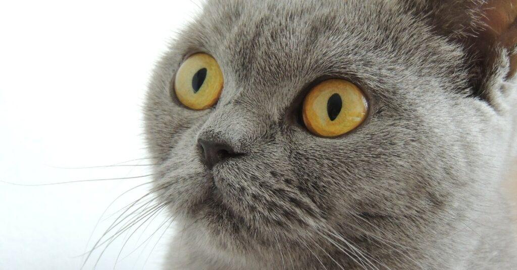 gattino British shorthair dall'aspetto triste ha finalmente trovato una mamma umana
