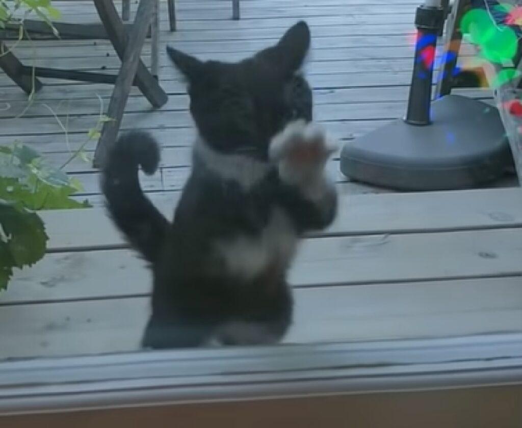 smoky gattino europeo gioca con finestra