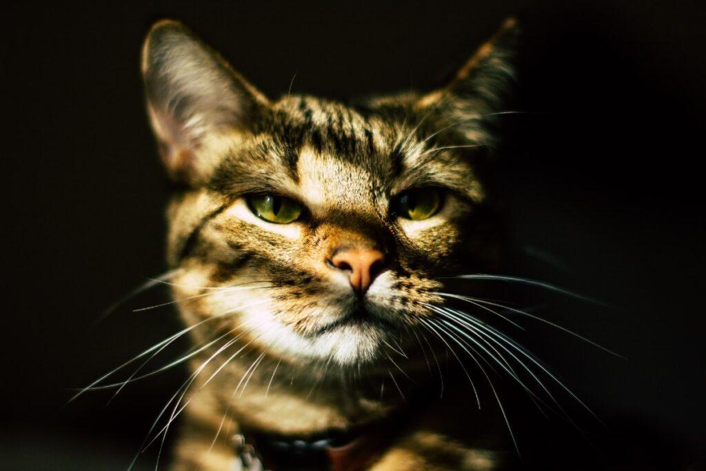 ombre sul muso del gatto