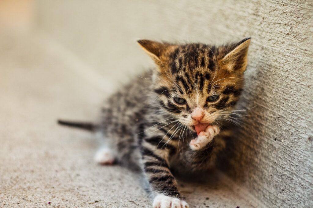gattino che si leccala zampa