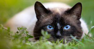 Gattino siamese fa un assalto all'aspirapolvere