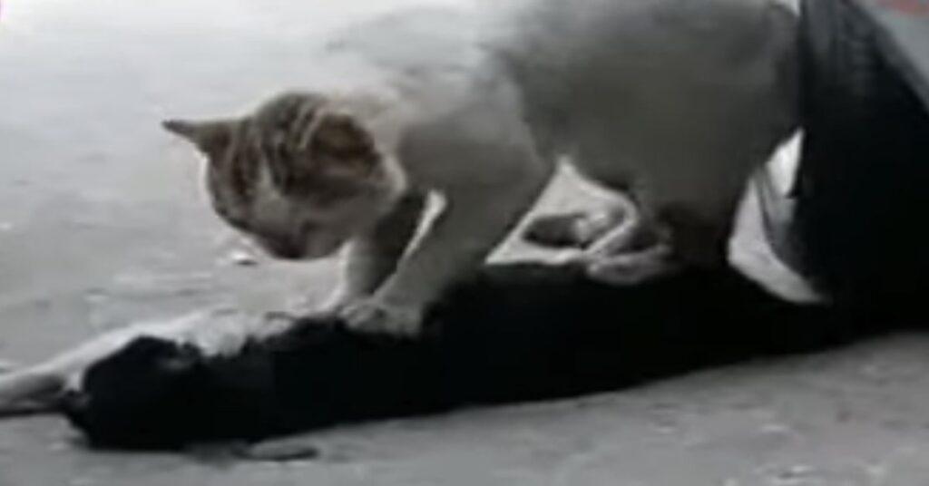 gatto cerca di rianimare amico