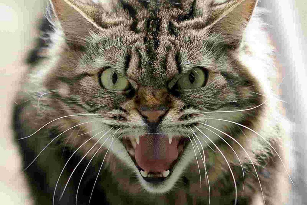 gatto si mostra aggressivo
