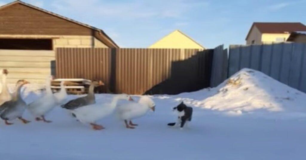 gatto e oche insieme  sulla neve