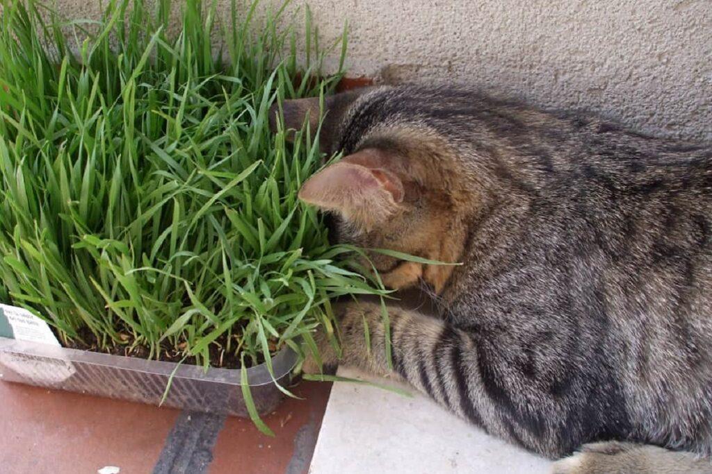 gatto ed erba gatto