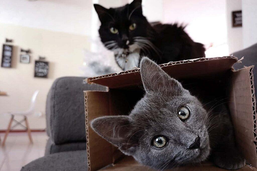 gatti giocano con la scatola