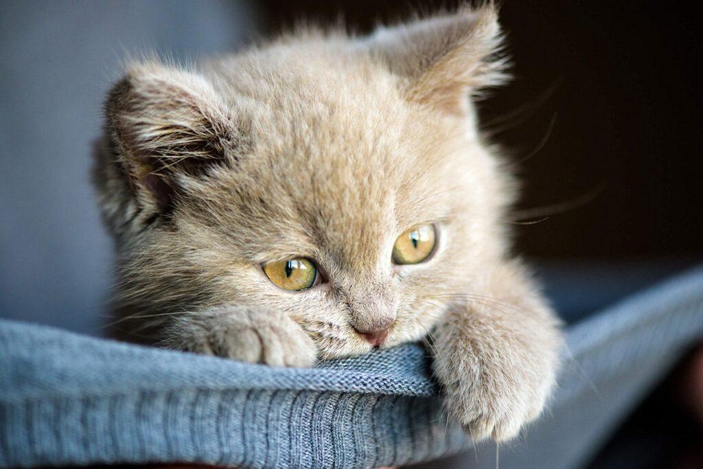 gattino color perla