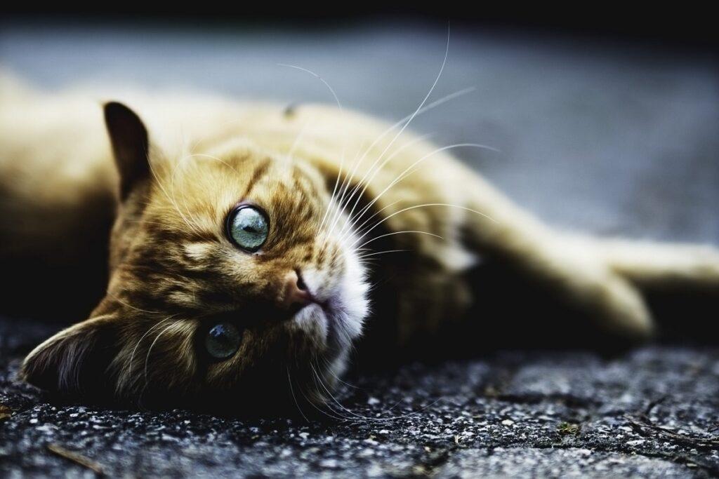 gatto disteso di fianco