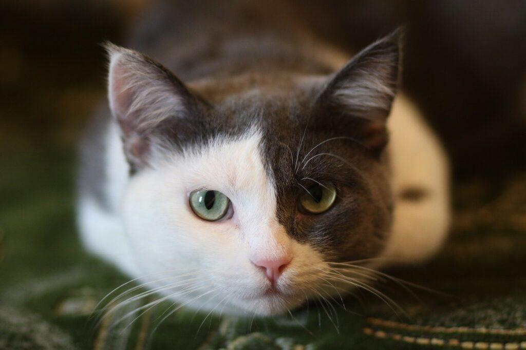 gatto bianco e grigio