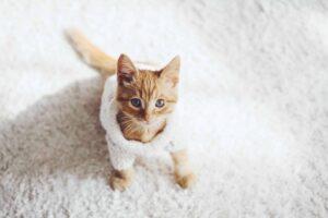 gattino con il maglione