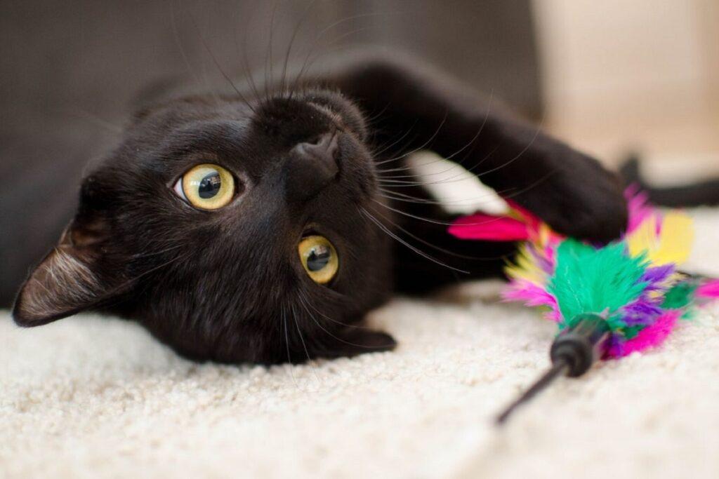 gatto nero supino