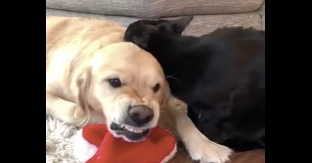 Labrador fa espressione strana mentre gatto nero lo lecca