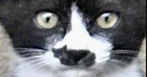 gatto con macchia a forma di gatto