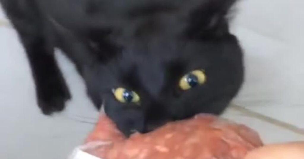 gatto trattiene la carne con i denti