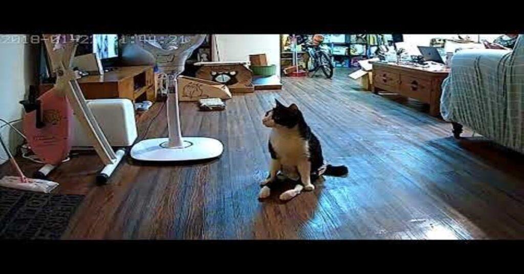 Gentlemancat aspetta padrona davanti alla porta