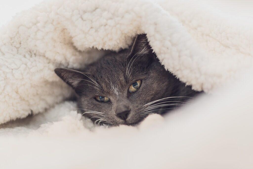 gatto grigio sotto le coperte