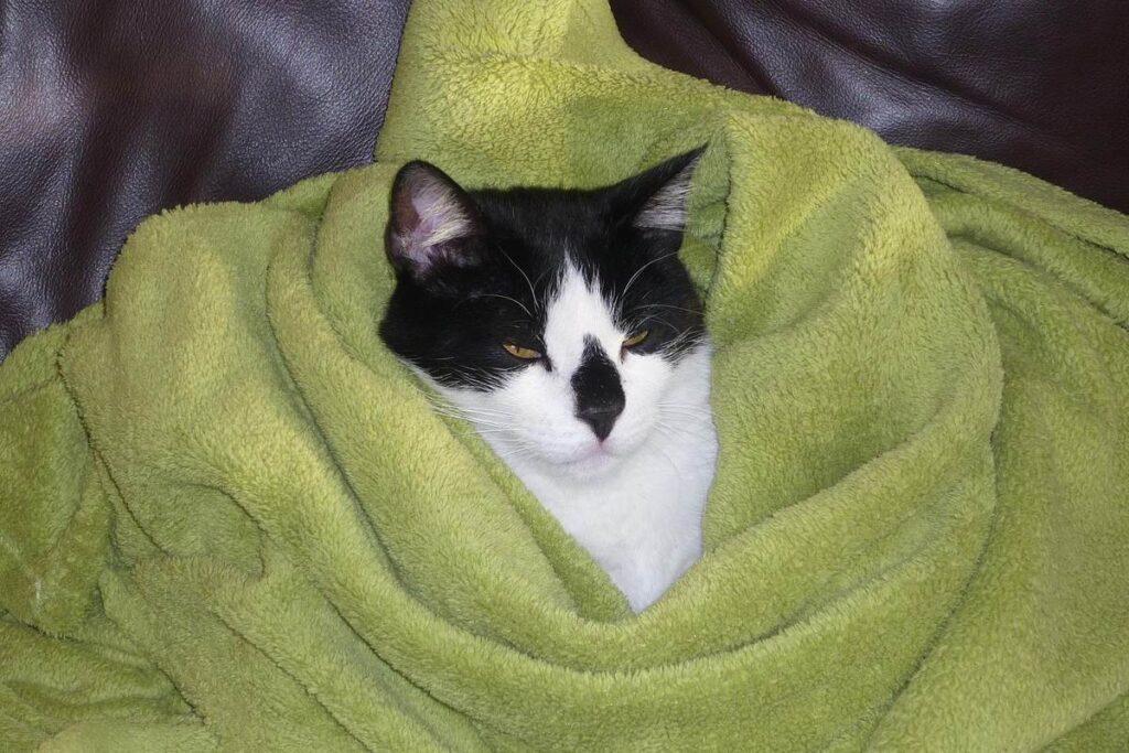 gatto avvolto nella coperta