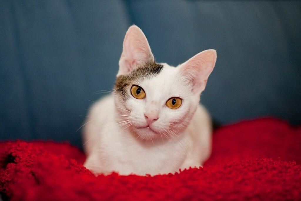 gatto accucciato su una coperta rossa