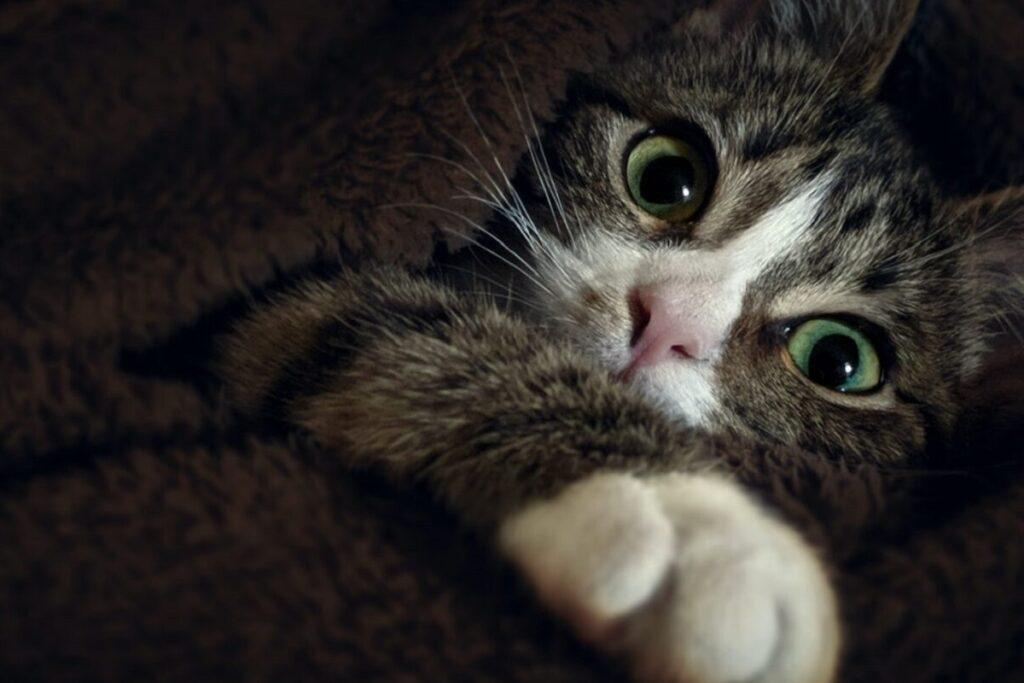 zampetta di gatto