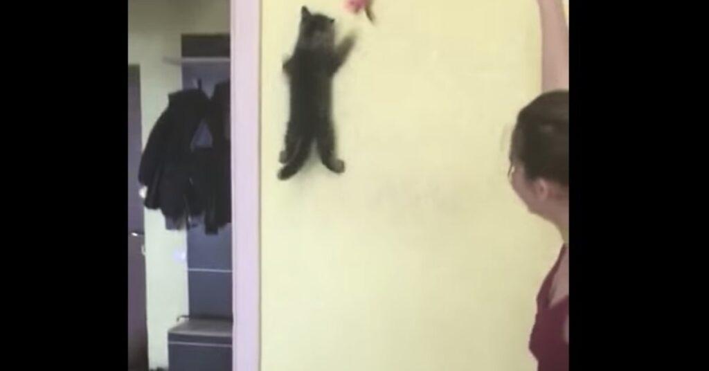 gatto scala parete per prendere giocattolo