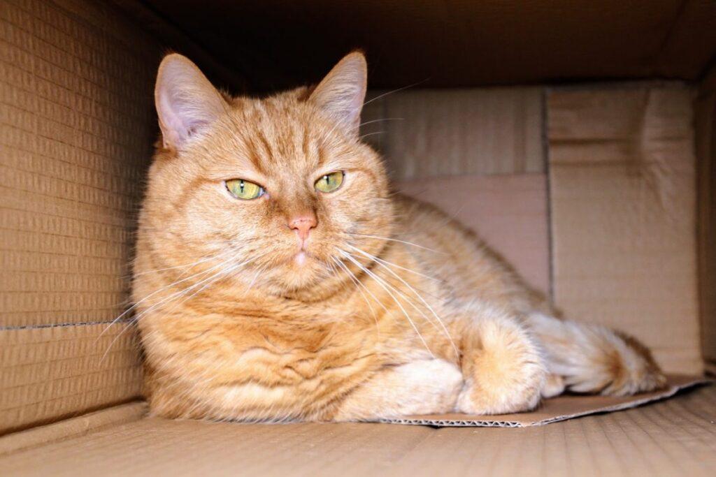 gatto arancione in una scatola di cartone