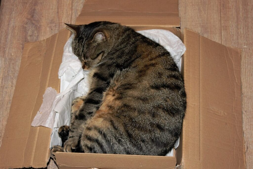 gatto tigrato che dorme in una scatola