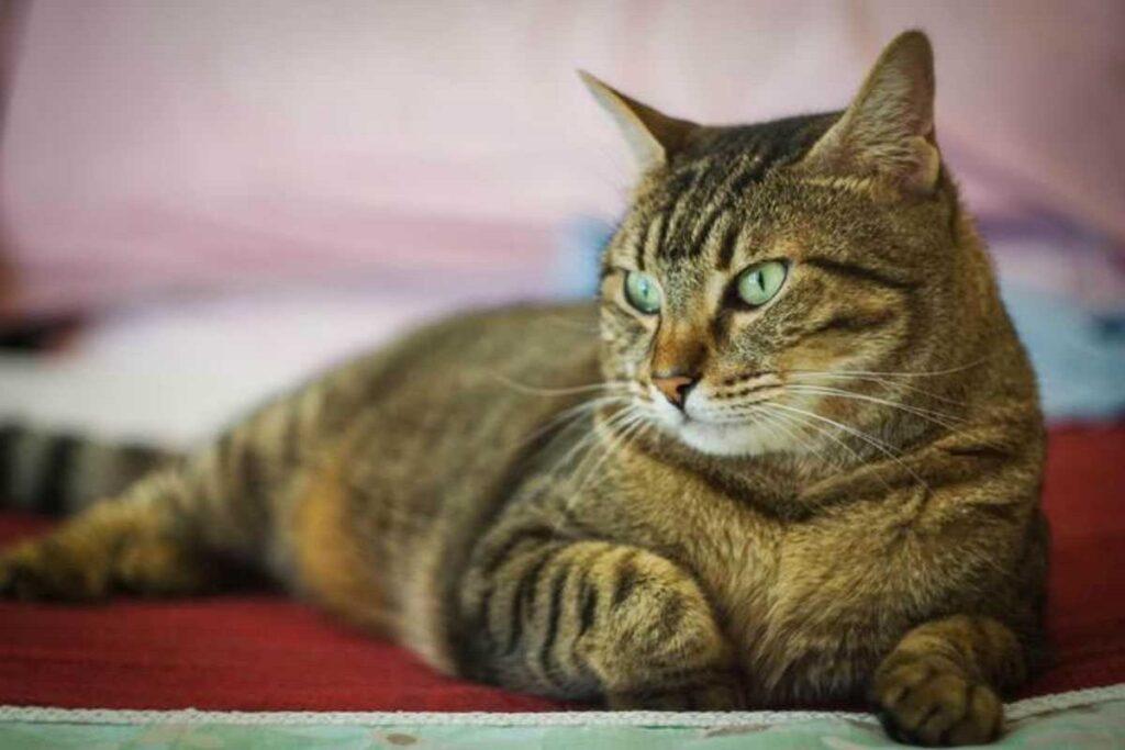 gatto con occhi magnetici