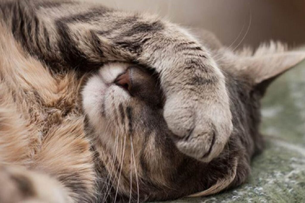 gatto con zampa sugli occhi