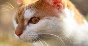 gatto bianco e rosso profilo