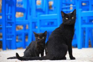 mamma e cucciolo di gatto neri