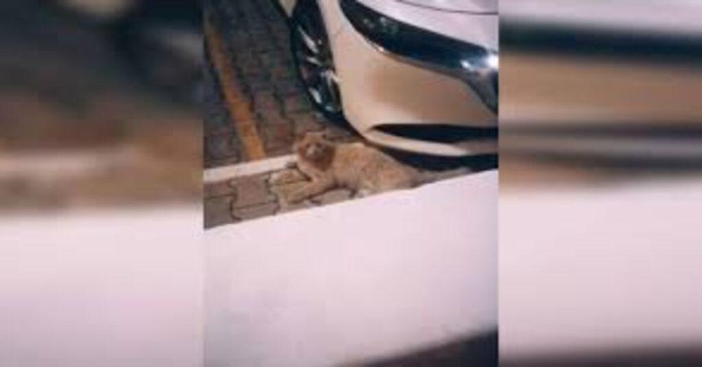 Gatto Güero vicino a un'auto
