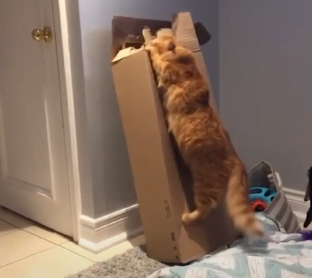 cornelius gattino sogno nel cuore