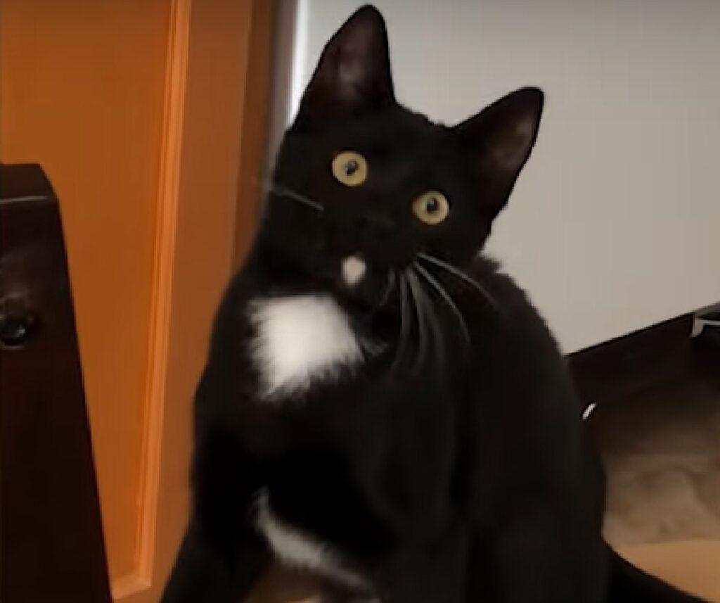 norma gattino tuxedo dei versi ripresi
