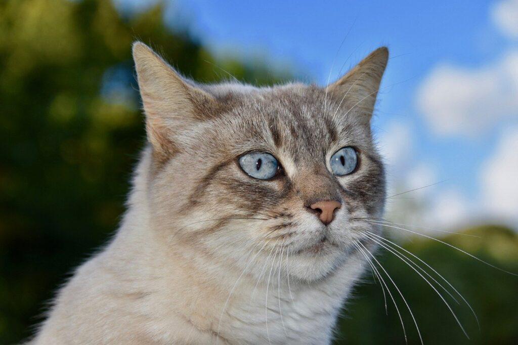 micio occhi azzurri