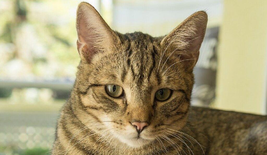 gatto soriano sguardo