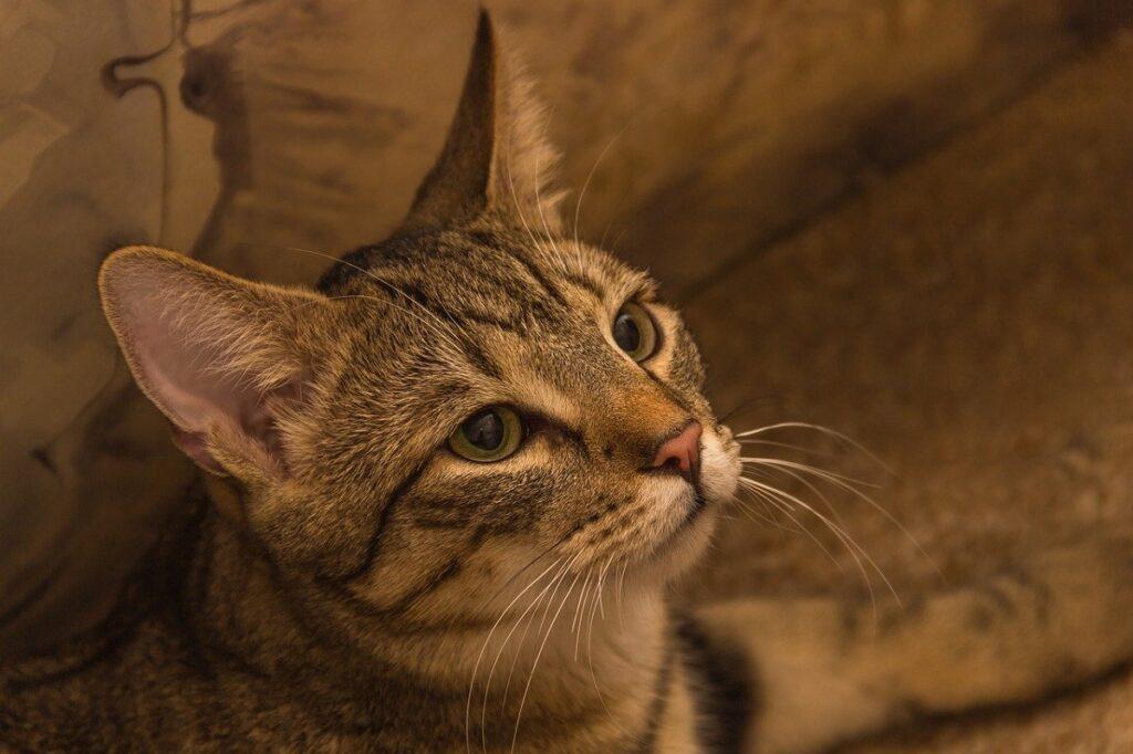 gatto guarda espressione