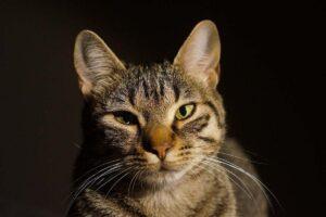 gatto con la febbre