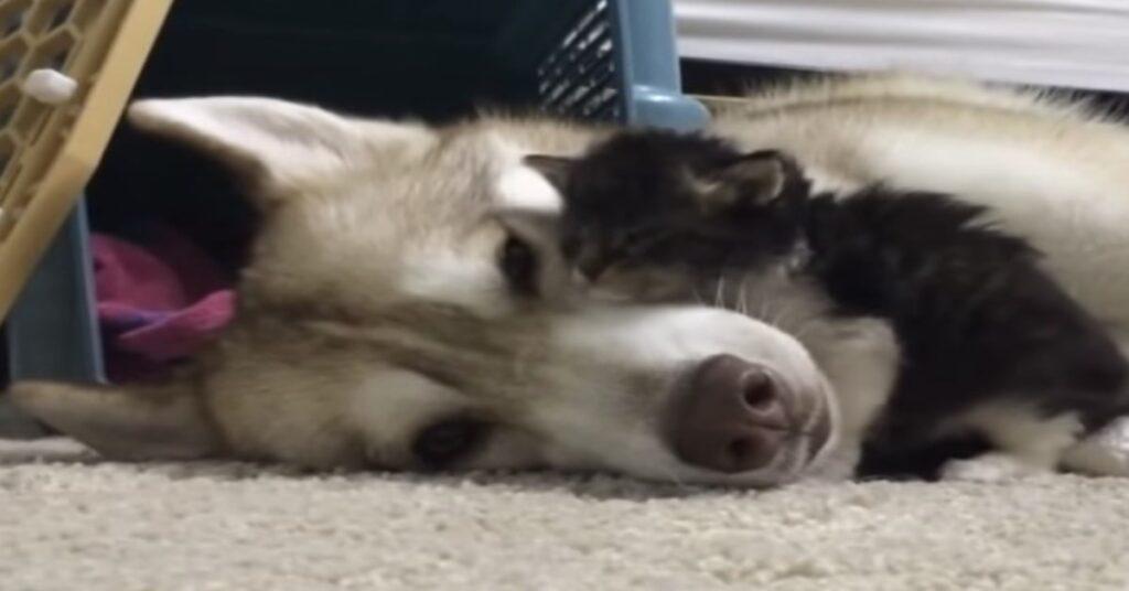 mamma Husky con gattino adottato