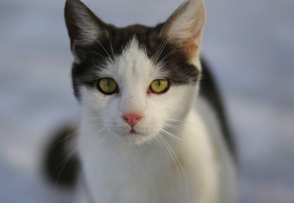 olbia gatto pelo bianco nero