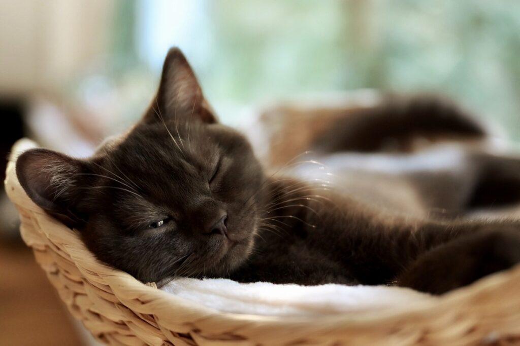 gatto nero nella cuccia
