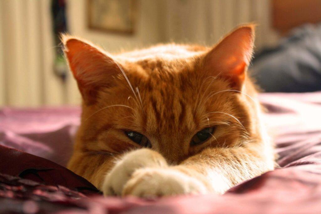 gatto arancione sul letto