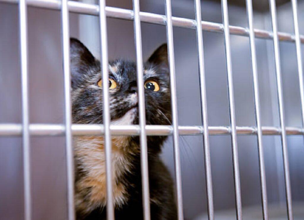 gatto panama arrestato dalla polizia