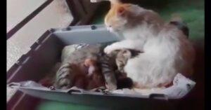 gatto si prende cura della compagna che partorisce