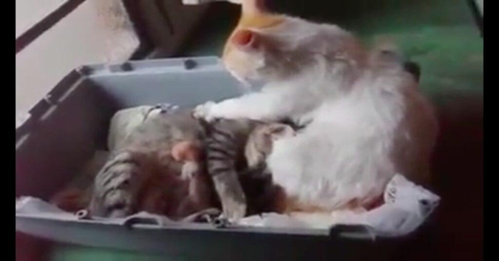 papà gatto aiuta compagna a partorire gattini